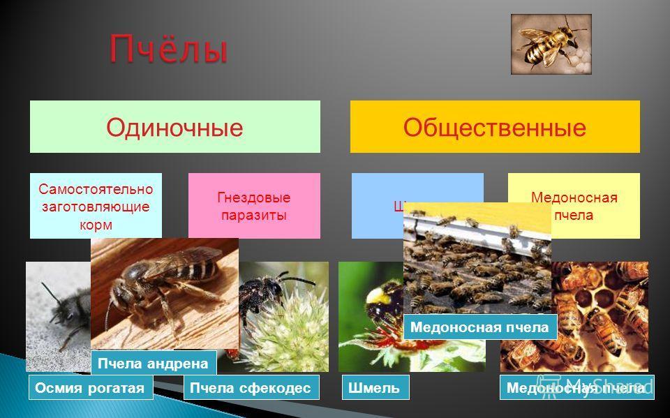 Одиночные Самостоятельно заготовляющие корм Гнездовые паразиты Общественные Шмели Медоносная пчела Осмия рогатая Пчела сфекодес ШмельМедоносная пчела Пчела андрена Медоносная пчела