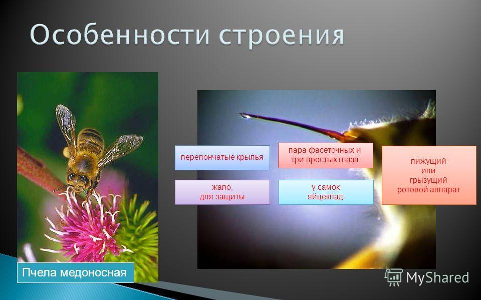 Пчела медоносная перепончатые крылья пара фасеточных и три простых глаза лижущий или грызущий ротовой аппарат жало, для защиты у самок яйцеклад