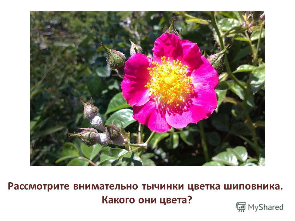 Рассмотрите внимательно тычинки цветка шиповника. Какого они цвета?