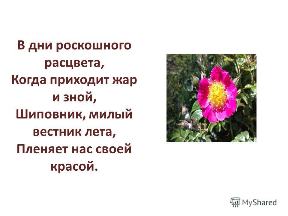 В дни роскошного расцвета, Когда приходит жар и зной, Шиповник, милый вестник лета, Пленяет нас своей красой.