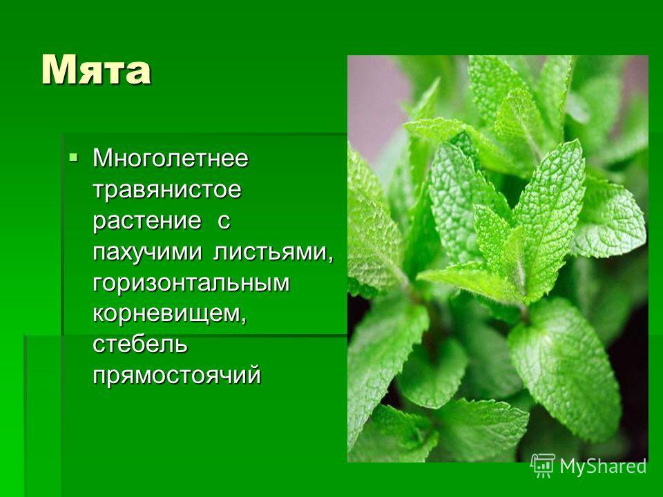 Мята Многолетнее травянистое растение с пахучими листьями, горизонтальным корневищем, стебель прямостоячий Многолетнее травянистое растение с пахучими листьями, горизонтальным корневищем, стебель прямостоячий