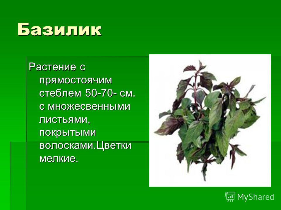 Базилик Растение с прямостоячим стеблем 50-70- см. с множесвенными листьями, покрытыми волосками.Цветки мелкие.