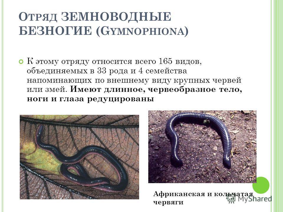 О ТРЯД ЗЕМНОВОДНЫЕ БЕЗНОГИЕ (G YMNOPHIONA ) К этому отряду относится всего 165 видов, объединяемых в 33 рода и 4 семейства напоминающих по внешнему виду крупных червей или змей. И меют д линное, червеобразное тело, ноги и глаза редуцированы Африканск