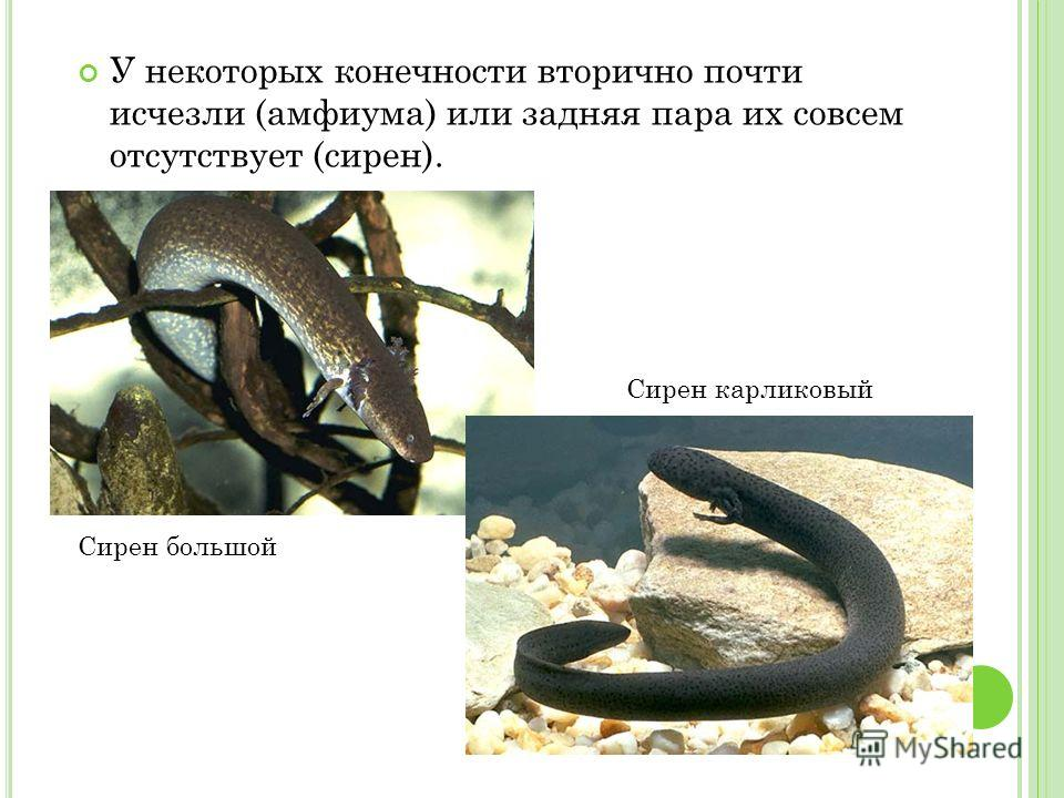 У некоторых конечности вторично почти исчезли (амфиума) или задняя пара их совсем отсутствует (сирен). Сирен большой Сирен карликовый
