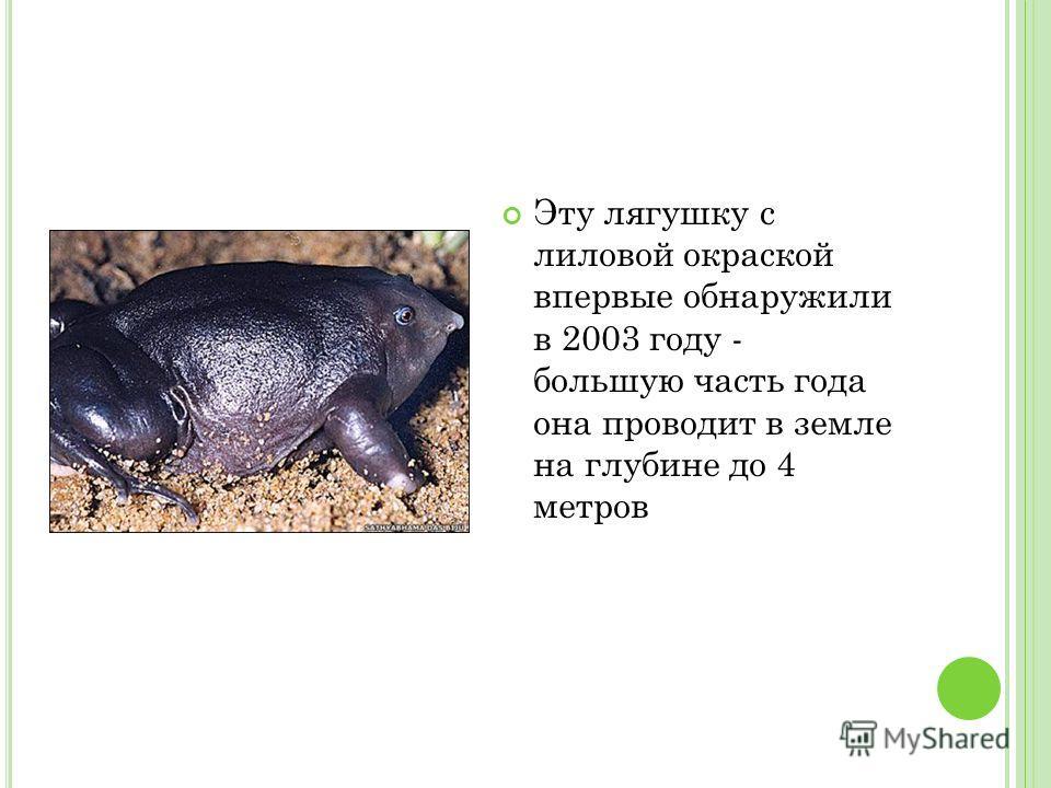 Эту лягушку с лиловой окраской впервые обнаружили в 2003 году - большую часть года она проводит в земле на глубине до 4 метров