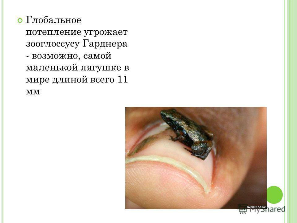 Глобальное потепление угрожает зооглоссусу Гарднера - возможно, самой маленькой лягушке в мире длиной всего 11 мм