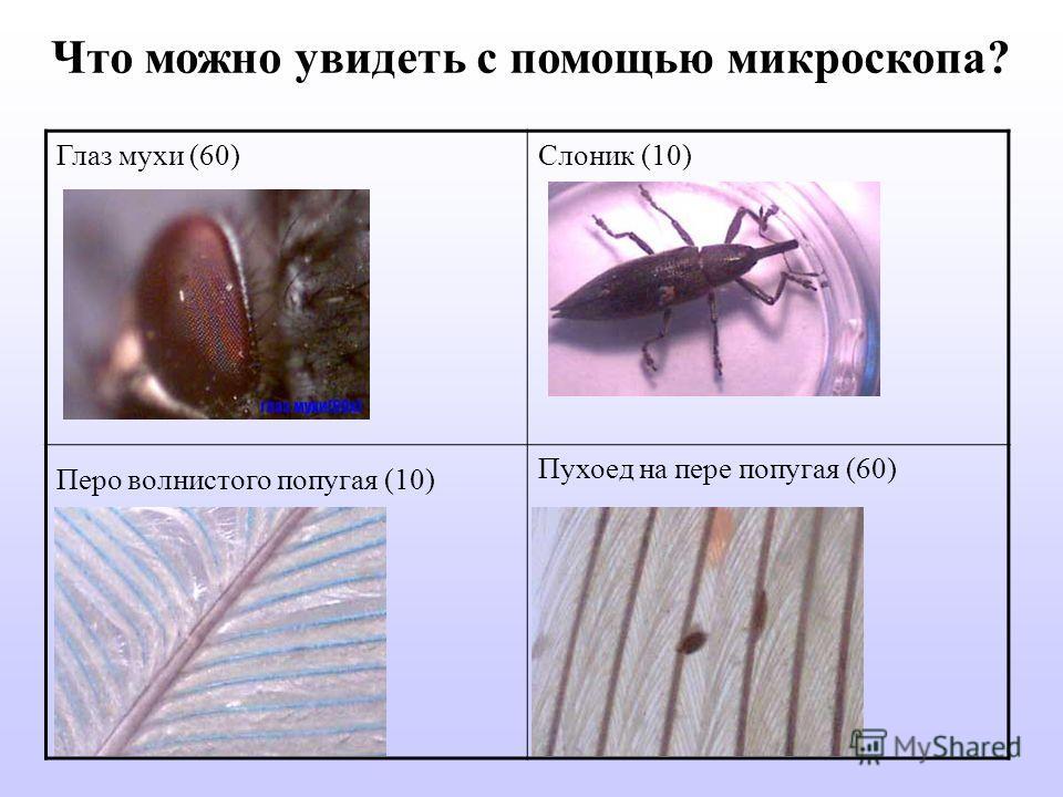 Глаз мухи (60)Слоник (10) Перо волнистого попугая (10) Пухоед на пере попугая (60) Что можно увидеть с помощью микроскопа?