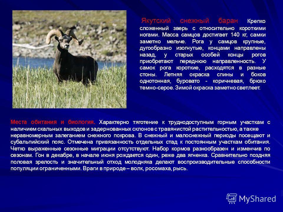 Якутский снежный баран Крепко сложенный зверь с относительно короткими ногами. Масса самцов достигает 140 кг, самки заметно мельче. Рога у самцов крупные, дугообразно изогнутые, концами направлены назад, у старых особей концы рогов приобретают передн