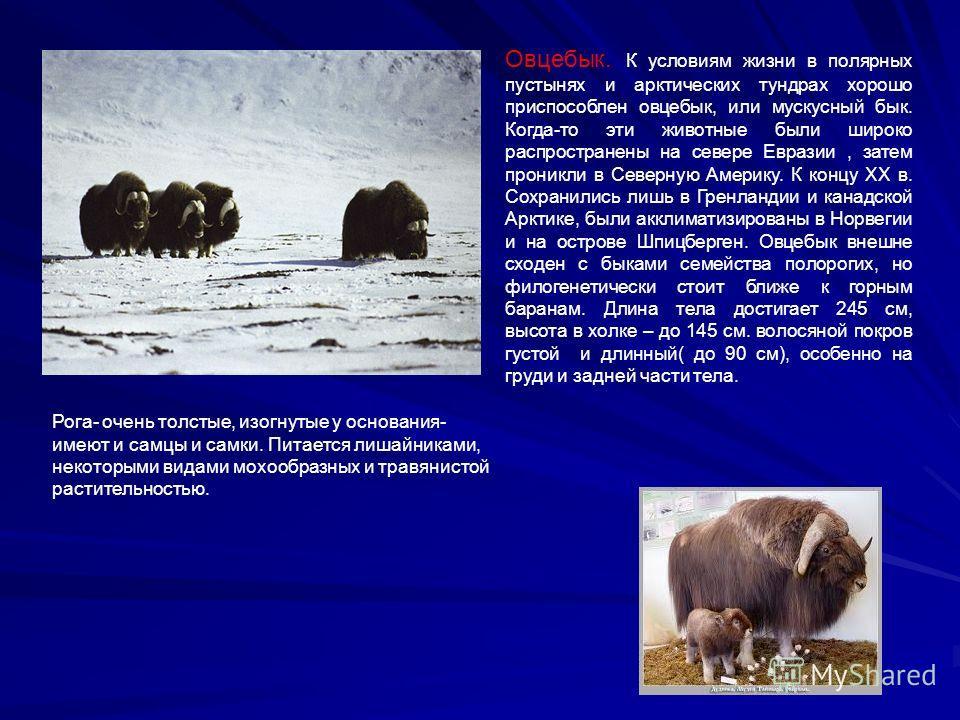 Овцебык. К условиям жизни в полярных пустынях и арктических тундрах хорошо приспособлен овцебык, или мускусный бык. Когда-то эти животные были широко распространены на севере Евразии, затем проникли в Северную Америку. К концу ХХ в. Сохранились лишь