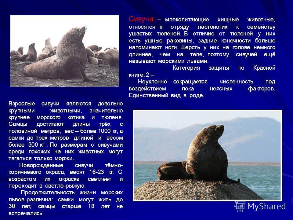 Сивучи – млекопитающие хищные животные, относятся к отряду ластоногих к семейству ушастых тюленей. В отличие от тюленей у них есть ушные раковины, задние конечности больше напоминают ноги. Шерсть у них на голове немного длиннее, чем на теле, поэтому