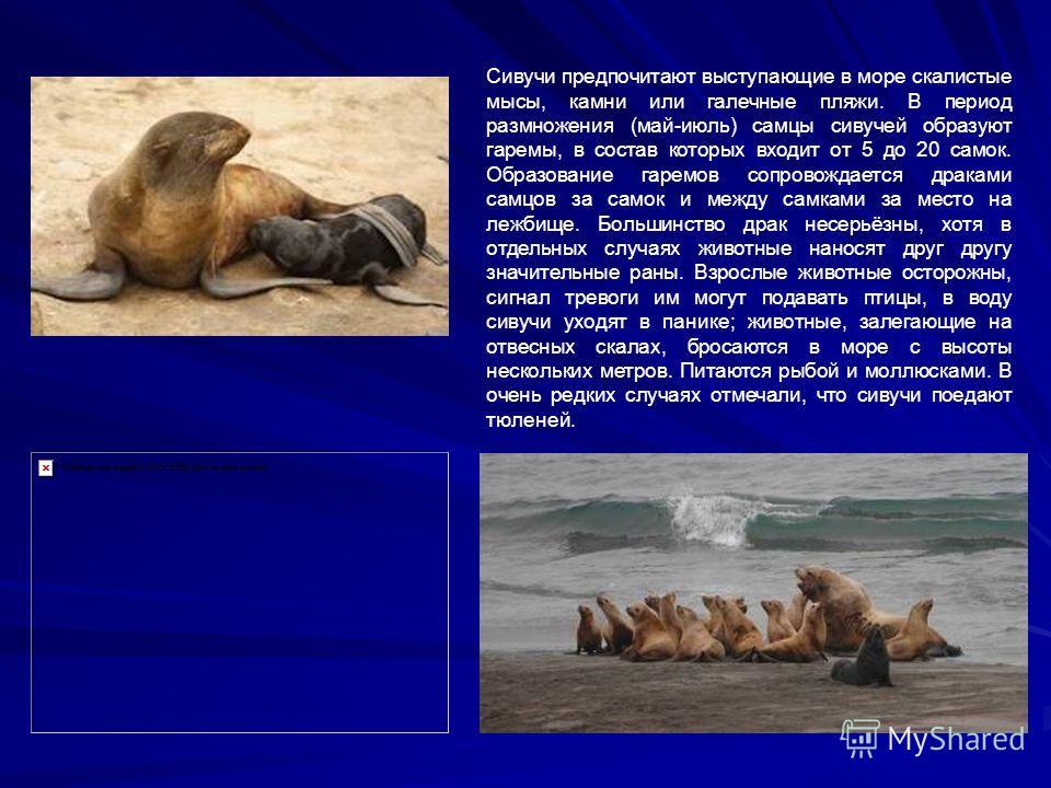 Сивучи предпочитают выступающие в море скалистые мысы, камни или галечные пляжи. В период размножения (май-июль) самцы сивучей образуют гаремы, в состав которых входит от 5 до 20 самок. Образование гаремов сопровождается драками самцов за самок и меж