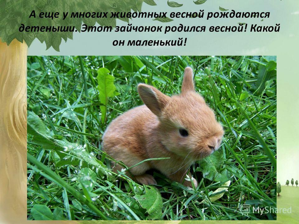 А еще у многих животных весной рождаются детеныши. Этот зайчонок родился весной! Какой он маленький!