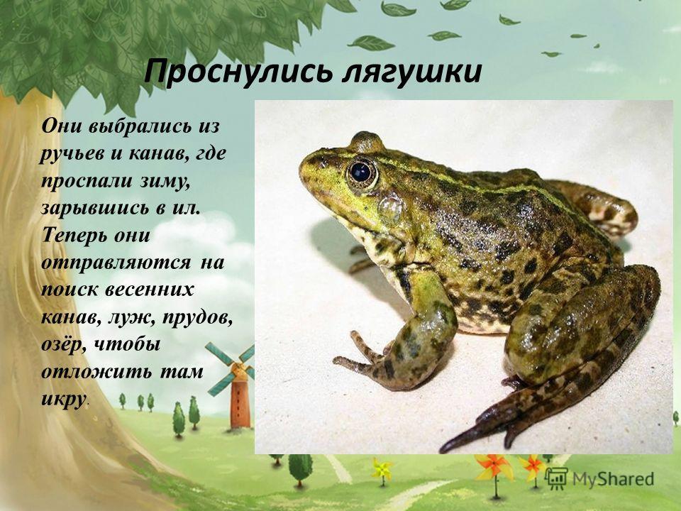 Проснулись лягушки Они выбрались из ручьев и канав, где проспали зиму, зарывшись в ил. Теперь они отправляются на поиск весенних канав, луж, прудов, озёр, чтобы отложить там икру.