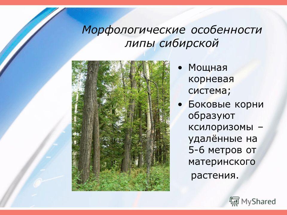 Морфологические особенности липы сибирской Мощная корневая система; Боковые корни образуют ксилоризомы – удалённые на 5-6 метров от материнского растения.