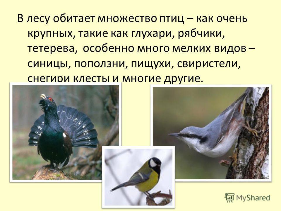 В лесу обитает множество птиц – как очень крупных, такие как глухари, рябчики, тетерева, особенно много мелких видов – синицы, поползни, пищухи, свиристели, снегири клесты и многие другие.