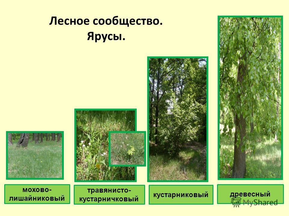 Лесное сообщество. Ярусы. мохово- лишайниковый травянисто- кустарничковый кустарниковый древесный