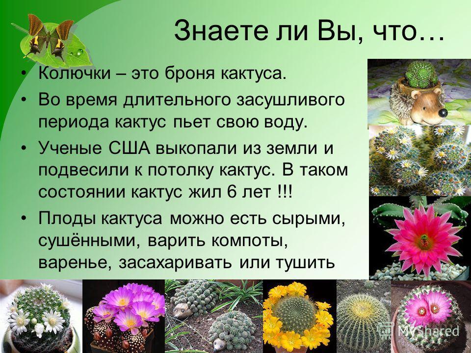 Знаете ли Вы, что… Колючки – это броня кактуса. Во время длительного засушливого периода кактус пьет свою воду. Ученые США выкопали из земли и подвесили к потолку кактус. В таком состоянии кактус жил 6 лет !!! Плоды кактуса можно есть сырыми, сушённы