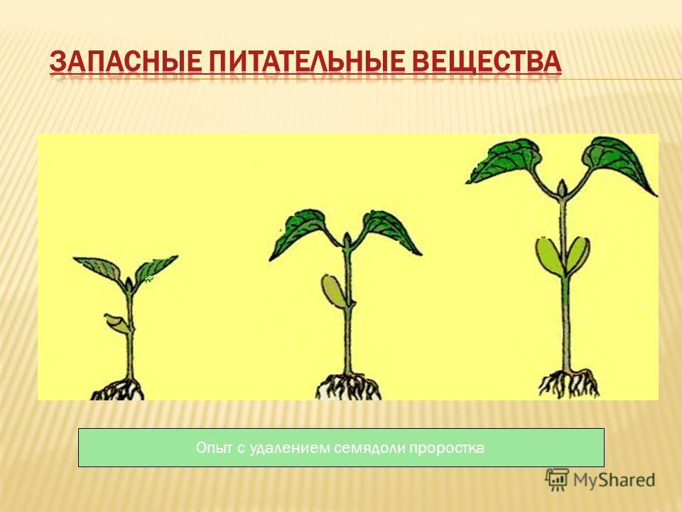 Опыт с удалением семядоли проростка