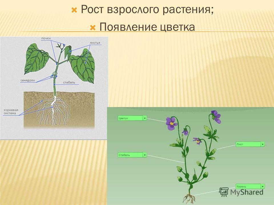 Рост взрослого растения; Появление цветка