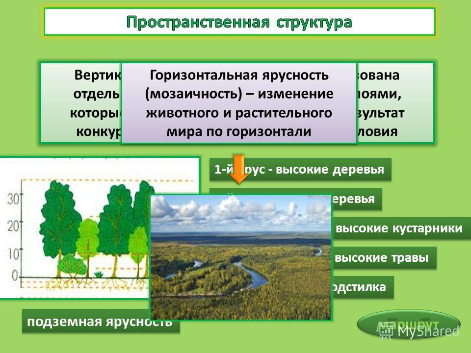 Вертикальная структура биоценоза образована отдельными его элементами, особыми слоями, которые называются ярусами. Ярусы – результат конкуренции за основные жизненные условия 1-й ярус - высокие деревья 2-й ярус - низкие деревья 3-й ярус - низкие и вы