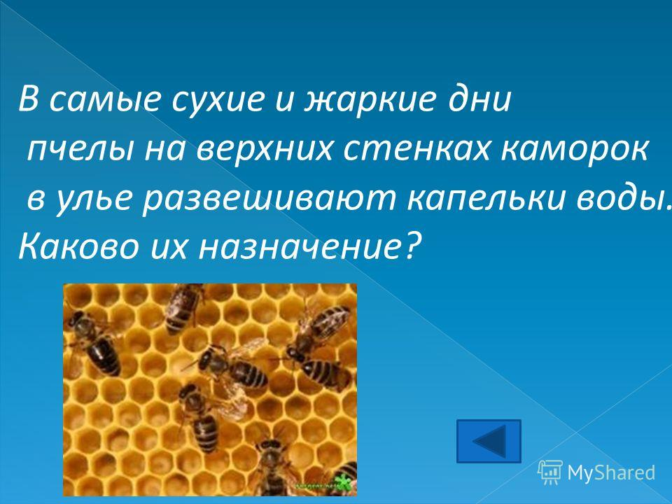 В самые сухие и жаркие дни пчелы на верхних стенках каморок в улье развешивают капельки воды. Каково их назначение?