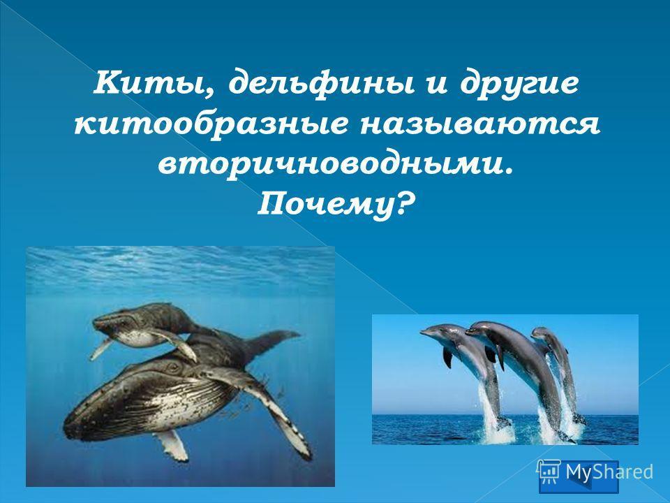 Киты, дельфины и другие китообразные называются вторичноводными. Почему?