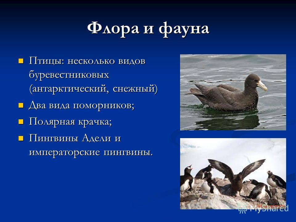 Флора и фауна Птицы: несколько видов буревестниковых (антарктический, снежный) Птицы: несколько видов буревестниковых (антарктический, снежный) Два вида поморников; Два вида поморников; Полярная крачка; Полярная крачка; Пингвины Адели и императорские