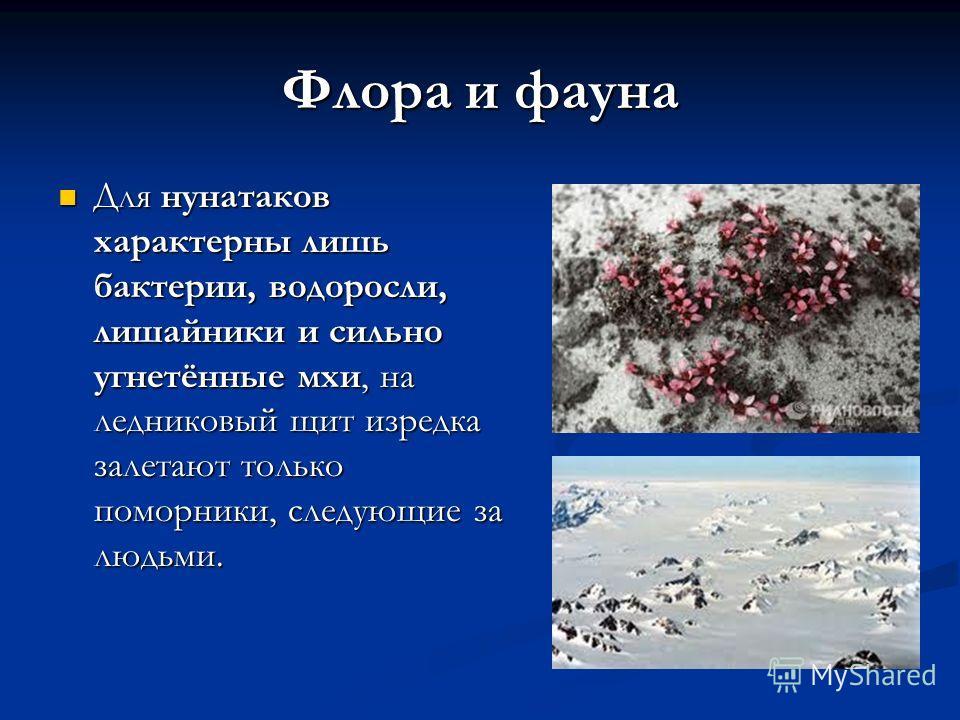 Флора и фауна Для нунатаков характерны лишь бактерии, водоросли, лишайники и сильно угнетённые мхи, на ледниковый щит изредка залетают только поморники, следующие за людьми. Для нунатаков характерны лишь бактерии, водоросли, лишайники и сильно угнетё