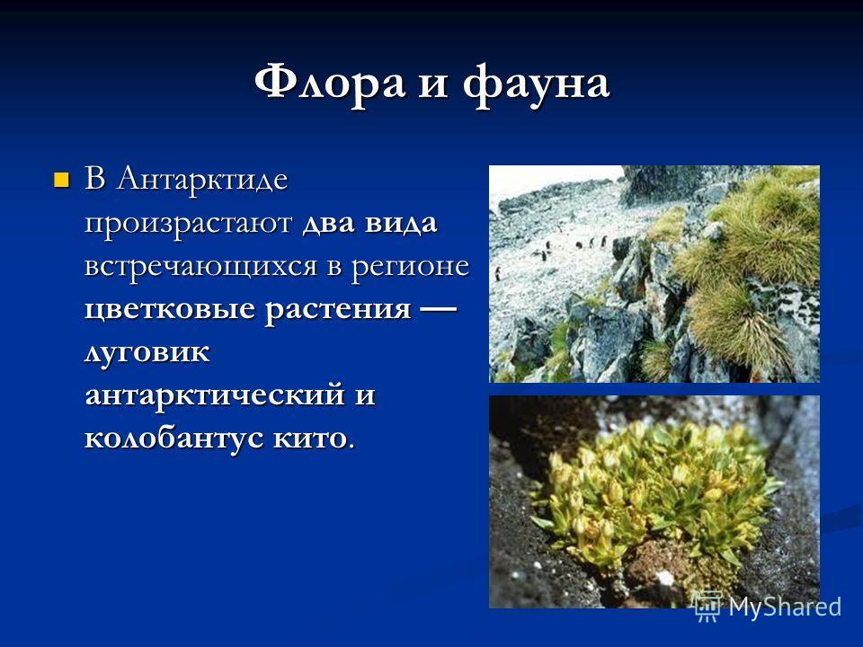 Флора и фауна В Антарктиде произрастают два вида встречающихся в регионе цветковые растения луговик антарктический и колобантус кито. В Антарктиде произрастают два вида встречающихся в регионе цветковые растения луговик антарктический и колобантус ки