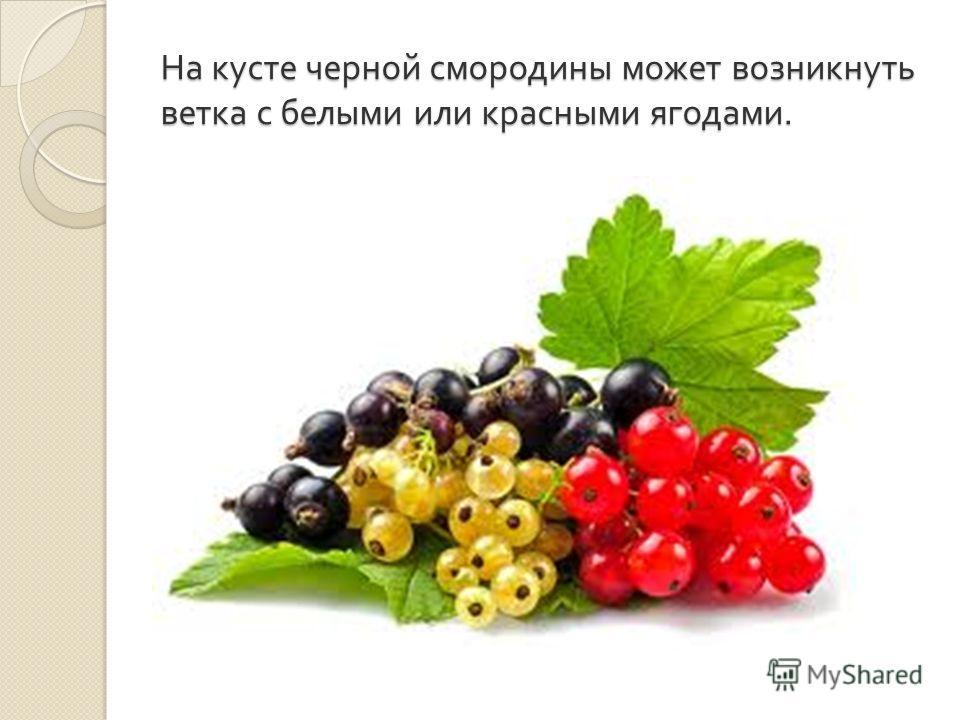 На кусте черной смородины может возникнуть ветка с белыми или красными ягодами.