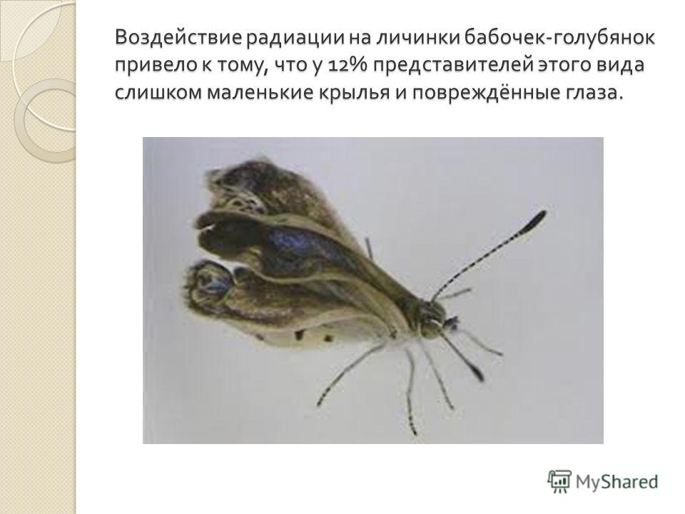 Воздействие радиации на личинки бабочек - голубянок привело к тому, что у 12% представителей этого вида слишком маленькие крылья и повреждённые глаза.