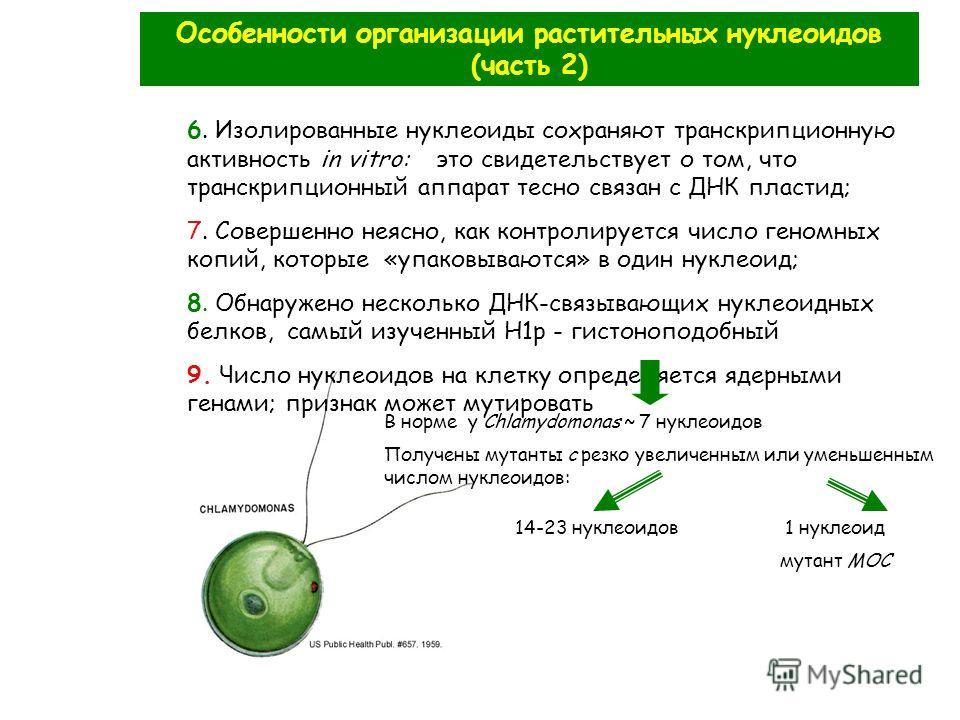 Особенности организации растительных нуклеоидов (часть 2) 6. Изолированные нуклеоиды сохраняют транскрипционную активность in vitro: это свидетельствует о том, что транскрипционный аппарат тесно связан с ДНК пластид; 7. Совершенно неясно, как контрол