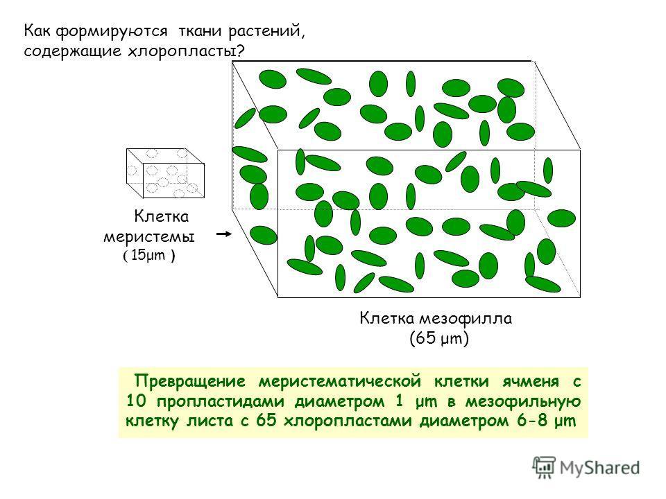 Клетка мезофилла (65 μm) Превращение меристематической клетки ячменя с 10 про пластидами диаметром 1 μm в мезофильную клетку листа с 65 хлоропластами диаметром 6-8 μm Клетка меристемы ( 15μm ) Как формируются ткани растений, содержащие хлоропласты?