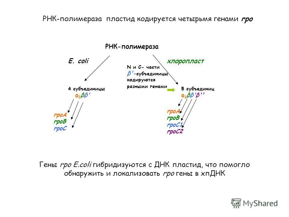 E. сoliхлоропласт 4 субъединицы а 2 ββ' rpoA rpoB rpoC 5 субъединиц а 2 ββ'β'' rpoA rpoB rpoC1 rpoC2 N и С- части β'- субъединицы кодируются разными генами РНК-полимераза Гены rpo E.coli гибридизуются с ДНК пластид, что помогло обнаружить и локализов