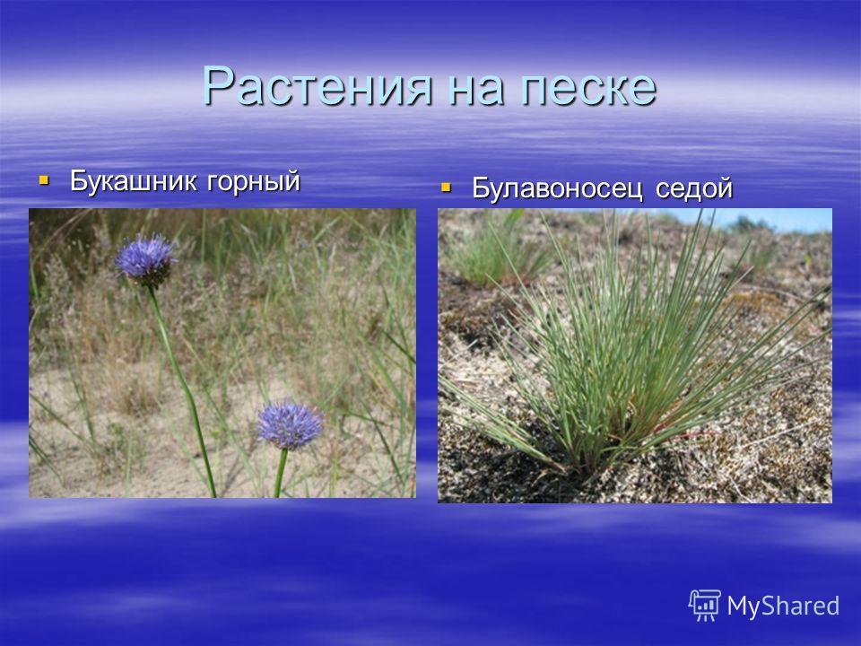 Растения на песке Букашник горный Букашник горный Булавоносец седой Булавоносец седой