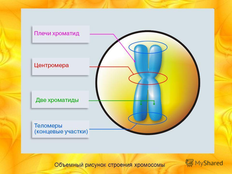 Объемный рисунок строения хромосомы