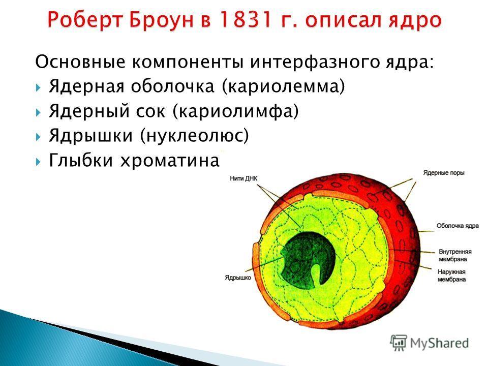 Основные компоненты интерфазного ядра: Ядерная оболочка (кариолемма) Ядерный сок (кариолимфа) Ядрышки (нуклеолюс) Глыбки хроматина
