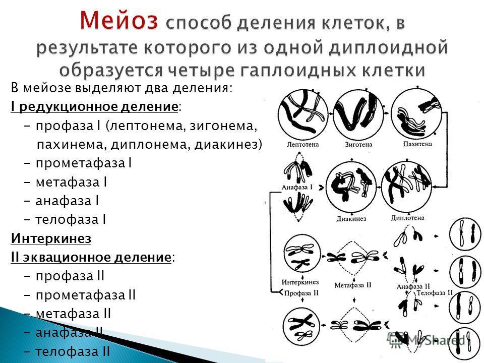 В мейозе выделяют два деления: I редукционное деление: - профаза I (лептонема, зигонема, пахинема, диплонема, диакинез) - прометафаза I - метафаза I - анафаза I - телофаза I Интеркинез II эквационное деление: - профаза II - прометафаза II - метафаза