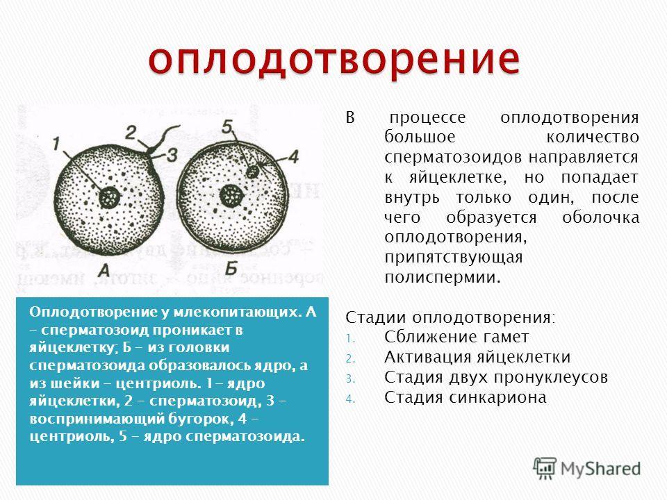 Оплодотворение у млекопитающих. А – сперматозоид проникает в яйцеклетку; Б – из головки сперматозоида образовалось ядро, а из шейки - центриоль. 1- ядро яйцеклетки, 2 – сперматозоид, 3 – воспринимающий бугорок, 4 – центриоль, 5 – ядро сперматозоида.
