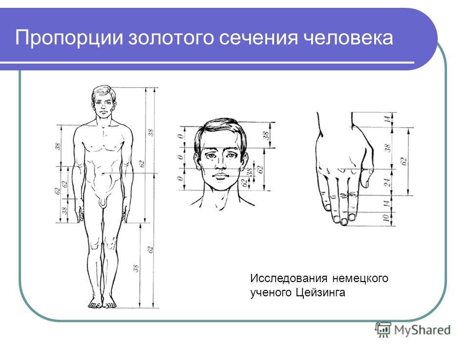 Пропорции золотого сечения человека Исследования немецкого ученого Цейзинга
