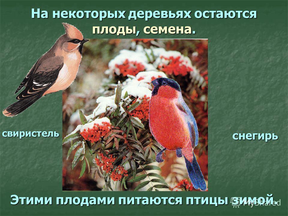 На некоторых деревьях остаются плоды, семена. Этими плодами питаются птицы зимой. снегирь свиристель