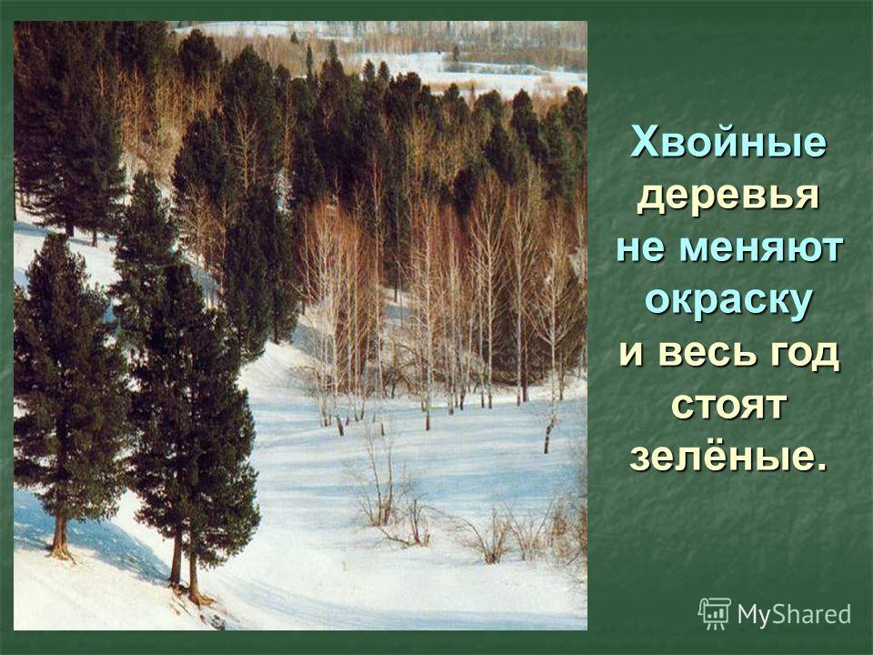 Хвойные деревья не меняют окраску и весь год стоят зелёные.