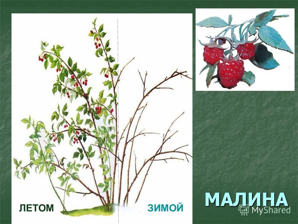 МАЛИНА ЛЕТОМЗИМОЙ