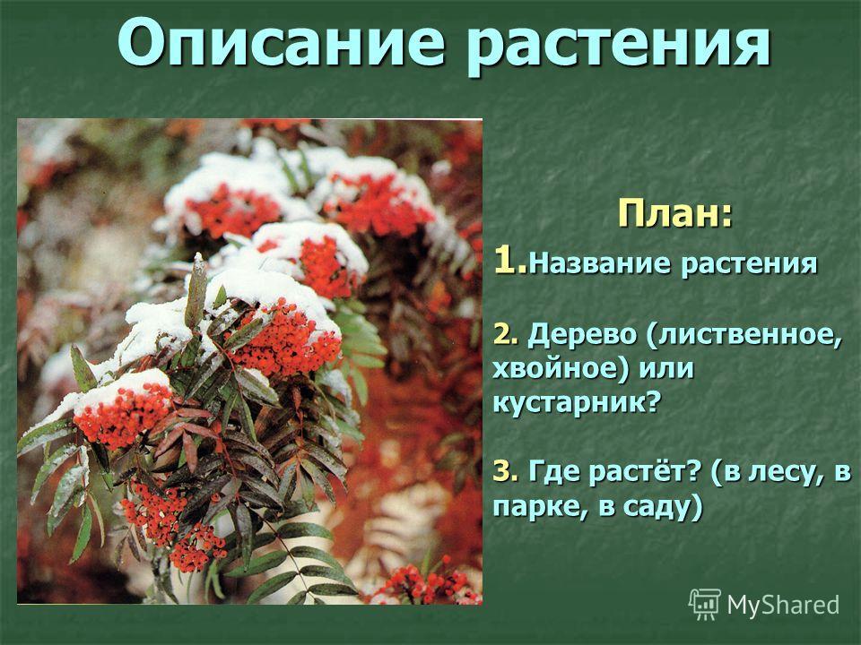 Описание растения План: 1. Название растения 2. Дерево (лиственное, хвойное) или кустарник? 3. Где растёт? (в лесу, в парке, в саду)