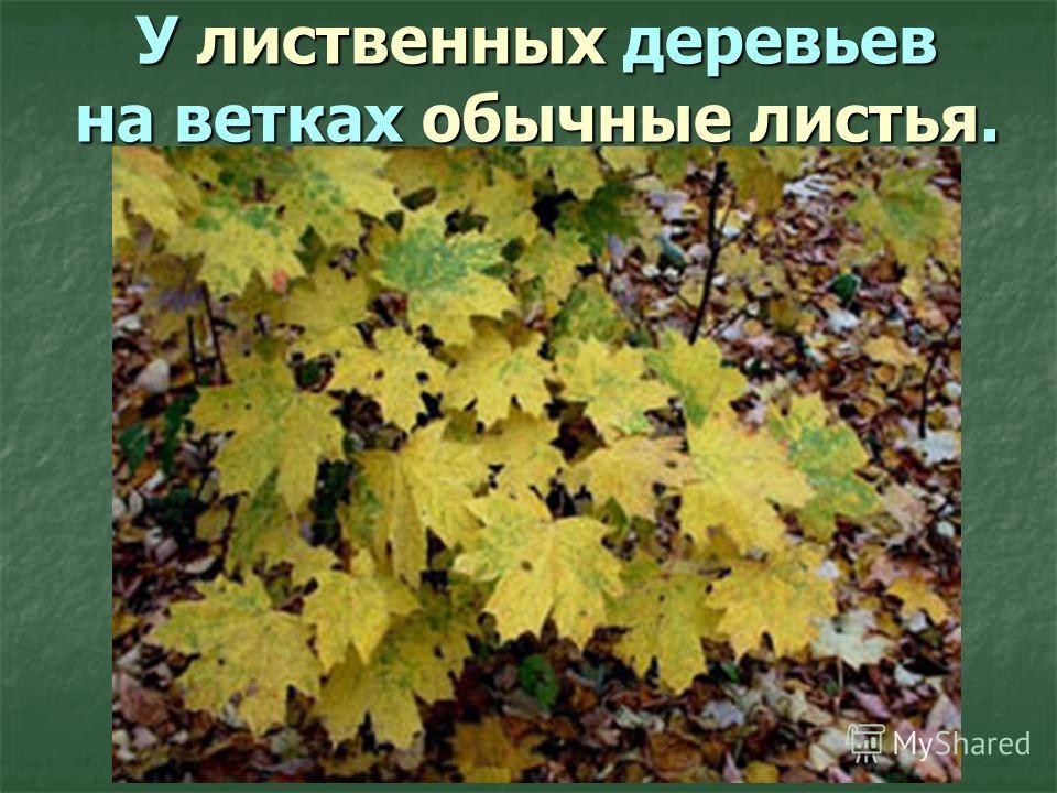 У лиственных деревьев на ветках обычные листья.