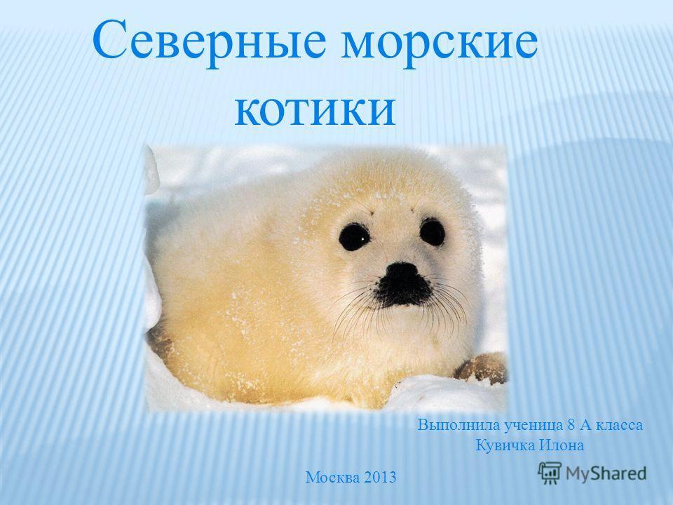 Северные морские котики Выполнила ученица 8 А класса Кувичка Илона Москва 2013