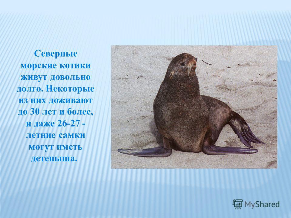 Северные морские котики живут довольно долго. Некоторые из них доживают до 30 лет и более, и даже 26-27 - летние самки могут иметь детеныша.
