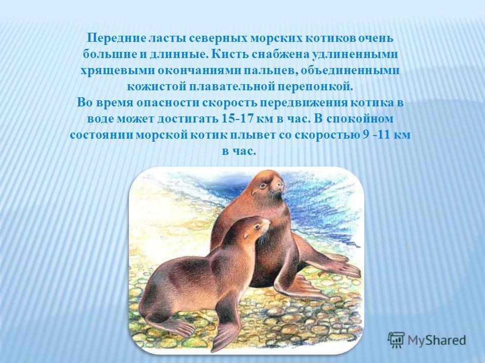 Передние ласты северных морских котиков очень большие и длинные. Кисть снабжена удлиненными хрящевыми окончаниями пальцев, объединенными кожистой плавательной перепонкой. Во время опасности скорость передвижения котика в воде может достигать 15-17 км