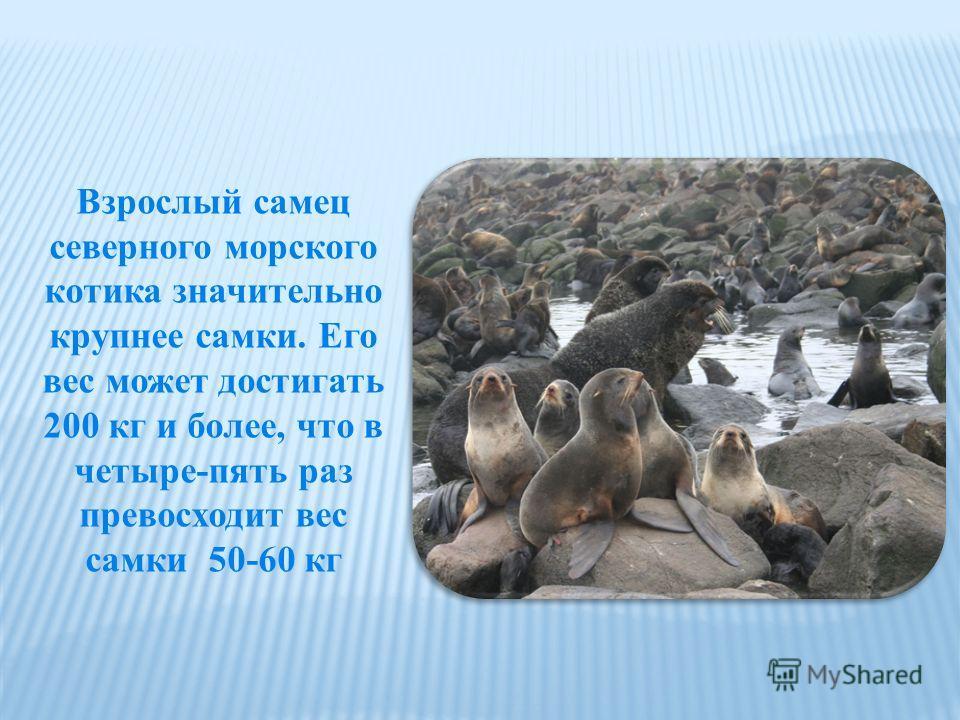 Взрослый самец северного морского котика значительно крупнее самки. Его вес может достигать 200 кг и более, что в четыре-пять раз превосходит вес самки  50-60 кг
