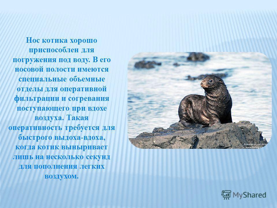 Нос котика хорошо приспособлен для погружения под воду. В его носовой полости имеются специальные объемные отделы для оперативной фильтрации и согревания поступающего при вдохе воздуха. Такая оперативность требуется для быстрого выдоха-вдоха, когда к